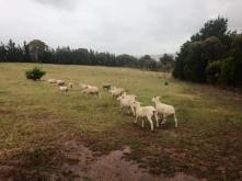Ewes arrive in rain